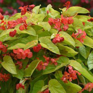 Begonia - Dragon Wing