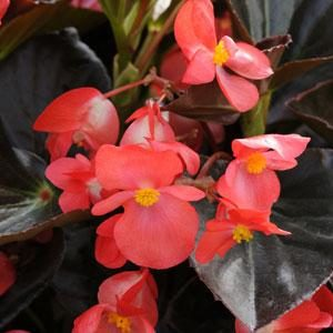 Begonia - Upright